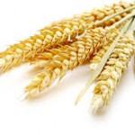 Pšenice obecná