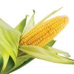 Kukuřice zrno